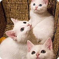 Adopt A Pet :: Alfalfa, Froggy and Buckwheat - Chicago, IL
