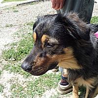 Adopt A Pet :: Gibson - Chewelah, WA