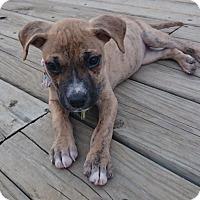 Adopt A Pet :: Patience - Homewood, AL