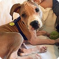 Adopt A Pet :: Buddy - Plano, TX