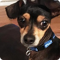 Miniature Pinscher Mix Dog for adoption in Westminster, Colorado - Rooney