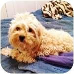 Yorkie, Yorkshire Terrier/Poodle (Miniature) Mix Dog for adoption in Gilbert, Arizona - RIO