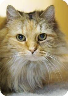 Domestic Longhair Cat for adoption in Medford, Massachusetts - Bells