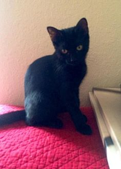 Domestic Shorthair Cat for adoption in Land O Lakes, Florida - Scout