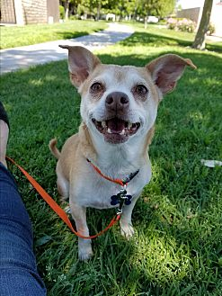 Beagle/Chihuahua Mix Dog for adoption in Riverside, California - Cam
