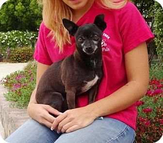 Chihuahua Dog for adoption in Lathrop, California - Alfred