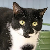 Domestic Shorthair Cat for adoption in Hilton Head, South Carolina - Oreo