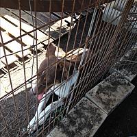 Adopt A Pet :: Gizmo - Beeville, TX