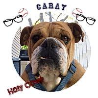 Adopt A Pet :: Caray - Park Ridge, IL