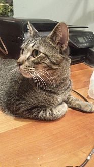 American Shorthair Cat for adoption in Hoffman Estates, Illinois - Tiger