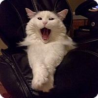 Domestic Longhair Cat for adoption in St. Louis, Missouri - Mira