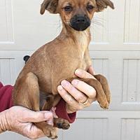 Adopt A Pet :: Poquito Amigo - Temecula, CA