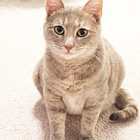 Domestic Shorthair Cat for adoption in Youngsville, North Carolina - Pastel