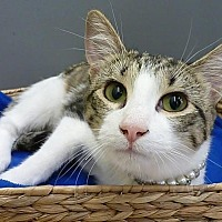 Adopt A Pet :: Tiger Lily - League City, TX