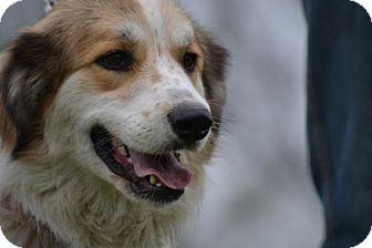 Great Pyrenees/Australian Shepherd Mix Dog for adoption in Whitewright, Texas - Thelma