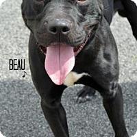Adopt A Pet :: Beau - Niagara Falls, NY