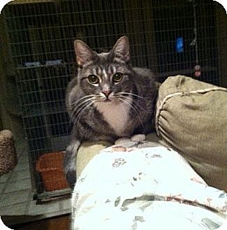 Domestic Shorthair Cat for adoption in Westlake Village, California - Schatzi