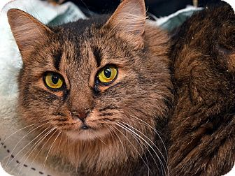 Maine Coon Cat for adoption in Brooklyn, New York - Nina