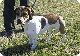 Basset Hound/English Bulldog Mix Dog for adoption in Ridgely, Maryland - Charlotte
