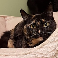 Domestic Shorthair Kitten for adoption in Auburn, California - Hester