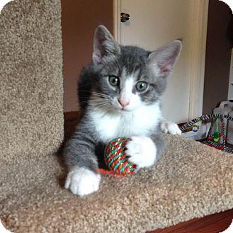 Domestic Shorthair Kitten for adoption in Marietta, Georgia - Ace