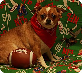 Chihuahua Mix Dog for adoption in Twin Falls, Idaho - Thor