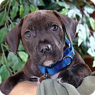 Terrier (Unknown Type, Medium)/Hound (Unknown Type) Mix Puppy for adoption in Columbia, Illinois - Dylan