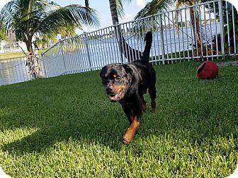 Rottweiler Dog for adoption in New Smyrna Beach, Florida - Bruno II