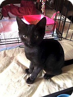 Domestic Shorthair Kitten for adoption in Bedford Hills, New York - Fred