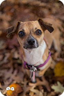 Chihuahua/Terrier (Unknown Type, Small) Mix Dog for adoption in Astoria, New York - Zorn: Adoption Pending