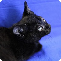 Adopt A Pet :: Ebony - Winston-Salem, NC