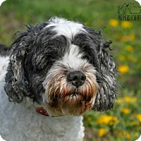 Cockapoo Dog for adoption in Troy, Illinois - Ellie Fostered (Patrick W)