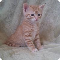 Adopt A Pet :: Mango - Sarasota, FL