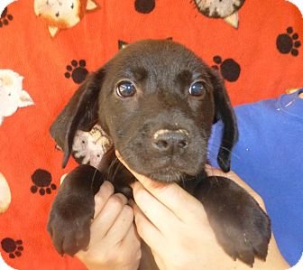 Golden Retriever/Labrador Retriever Mix Puppy for adoption in Oviedo, Florida - Jan