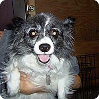 Adopt A Pet :: Miss Mollie - Shawnee Mission, KS