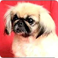 Adopt A Pet :: Ching - N. Fort Myers, FL