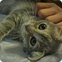 Adopt A Pet :: Kitty Purry - Chandler, AZ