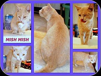 Domestic Shorthair Cat for adoption in Berkeley Springs, West Virginia - Mish Mish