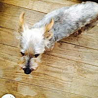 Silky Terrier/Yorkie, Yorkshire Terrier Mix Dog for adoption in Oakland, California - DIXON