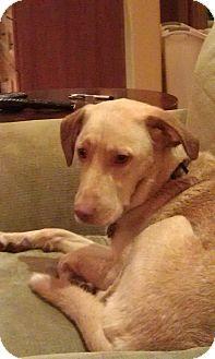 Labrador Retriever/Vizsla Mix Dog for adoption in Gig Harbor, Washington - Kyra - courtesy listing