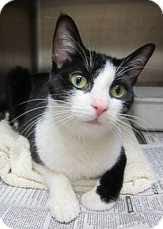 Domestic Shorthair Cat for adoption in Norwalk, Connecticut - Gaia