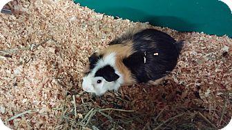 Guinea Pig for adoption in Aurora, Colorado - Jinx