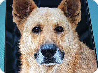 German Shepherd Dog Dog for adoption in Los Angeles, California - SIMBA VON JASMIN