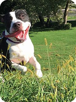 Boxer/Pit Bull Terrier Mix Dog for adoption in Bergen County, New Jersey - Jetta