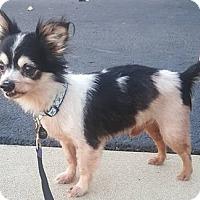 Adopt A Pet :: Paulie - Romeoville, IL