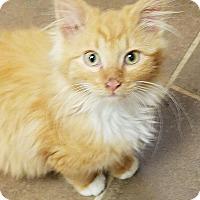 Domestic Longhair Cat for adoption in Jasper, Tennessee - Noah