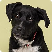 Adopt A Pet :: Dewey - Westfield, NY