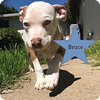Adopt A Pet :: Bruce - Livermore, CA