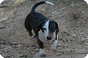 Dachshund Dog for adoption in San Antonio, Texas - Freebie