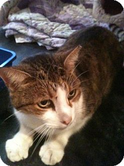 Domestic Shorthair Cat for adoption in Columbia, Maryland - Ranger